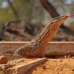 Curtin calls for better protection of mine site animals
